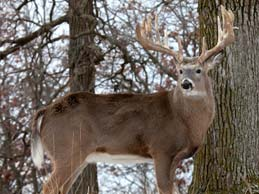 Deer Whitetail Hunting