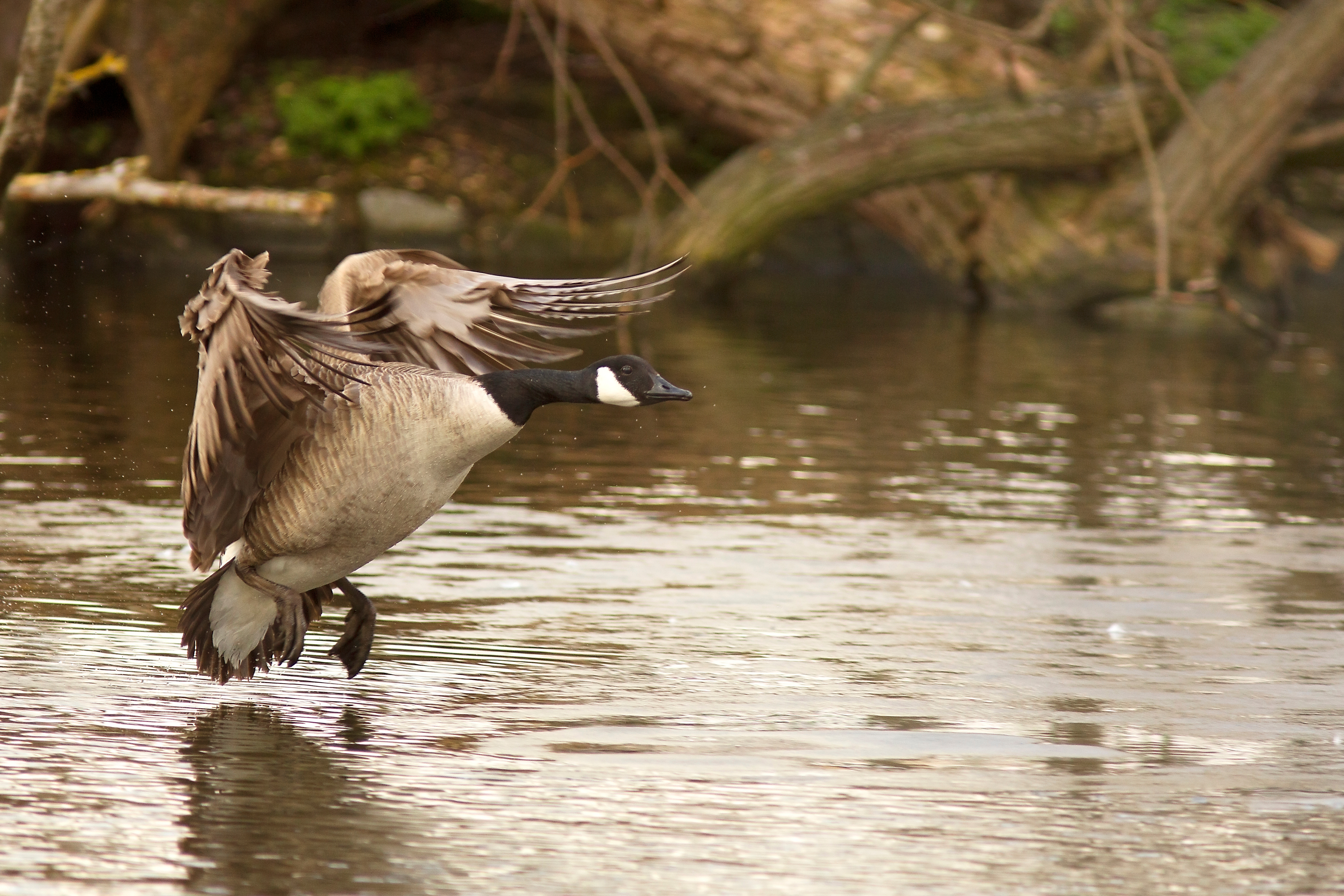 Goose flying over water on a goose hunting trip.g